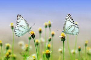 Schmetterling_Insekt_Blume_Natur